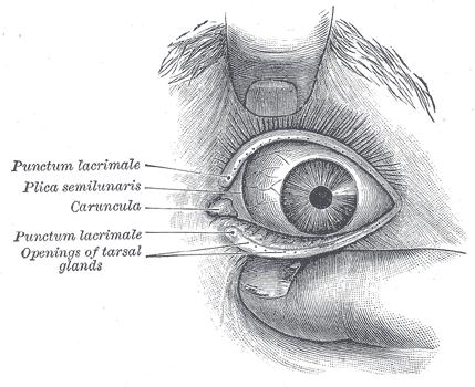 眼睛構造介紹圖-紋眼線