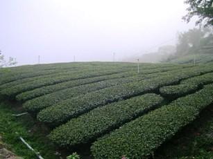 石菒茶園.JPG
