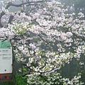 吉野櫻1.JPG