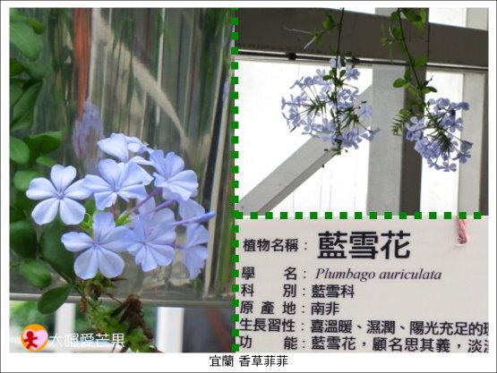 025藍雪花