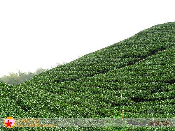52茶園.jpg