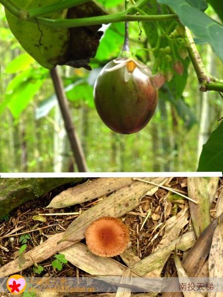 46山石榴.山香菇.jpg