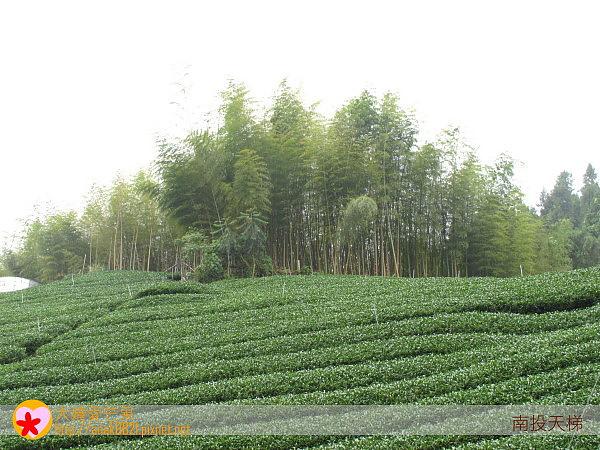 50茶園.jpg