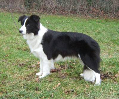 black_white_collie