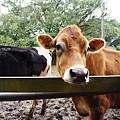 有憂鬱症的牛