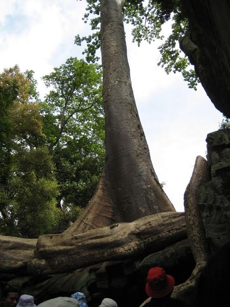 Ta Prom中壯觀的巨木