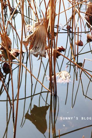 Dead Lotus