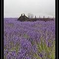 Lavender Farm 6.jpg