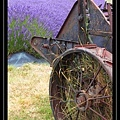 Lavender Farm 7.jpg