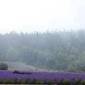 Lavender Farm 4.JPG