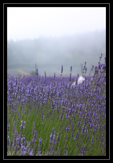 Lavender Farm 2.jpg