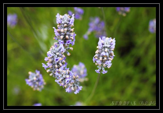 Lavender Farm 3.jpg