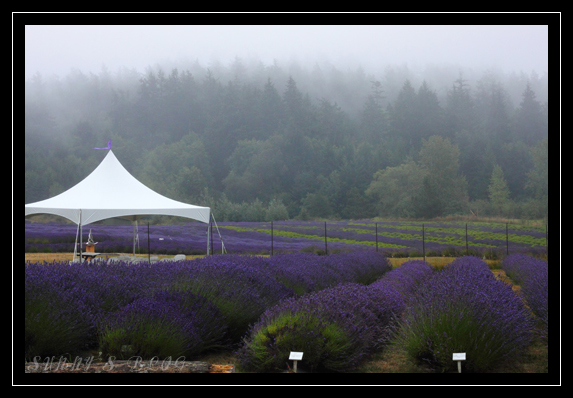 Lavender Farm 1.jpg