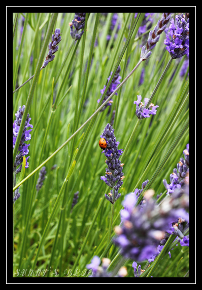 Lavender Farm 5.jpg