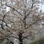 盛放的櫻花