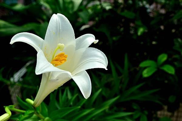 Lily blossom on my balcony 2