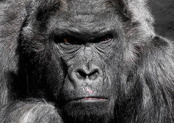 gorilla-752875_1920.jpg