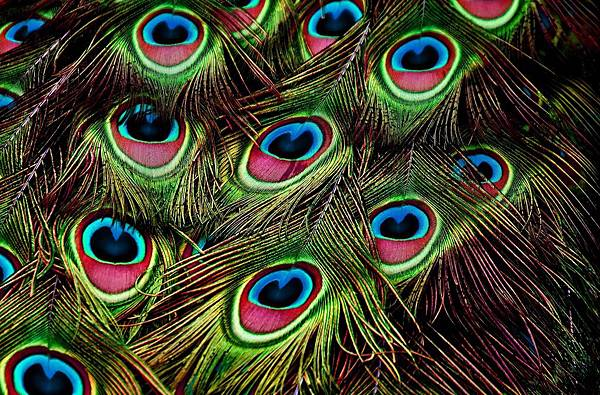 8. peacock-feathers.jpg