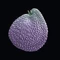 富蘭克林蚤綴的種子.jpg