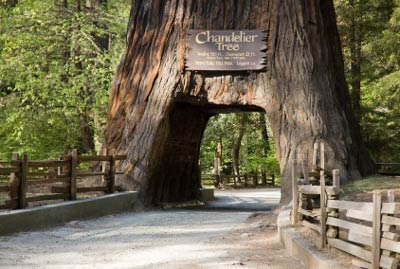 redwood-forest-chandelier-tree.jpg