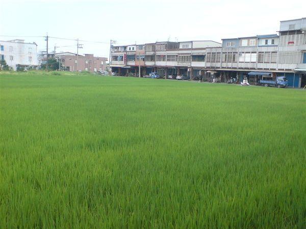 稻田.....JPG