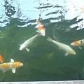 鯉魚們.JPG