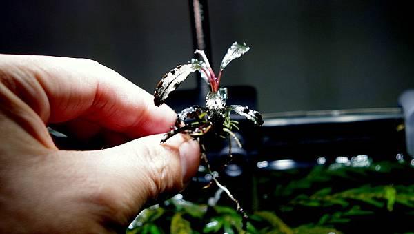 紫藍柯達(Buc. sp Kedagang) 128-6 (2).JPG