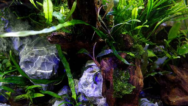 紫藍柯達(Buc. sp Kedagang) 128-6 (1).JPG