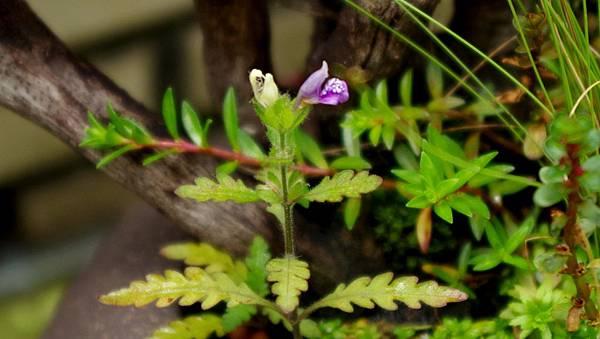 聖甲蟲 花Hygrophila pinnatifida (1).JPG
