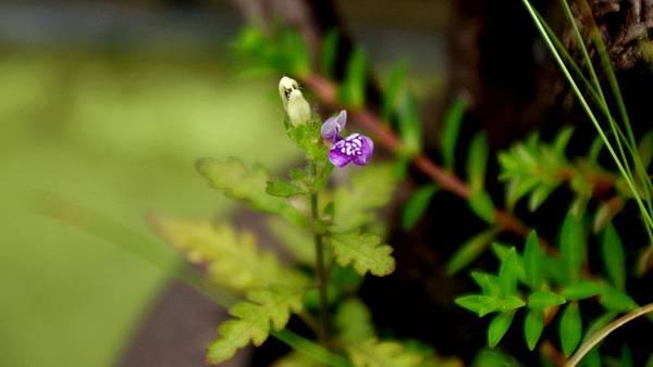 聖甲蟲 花Hygrophila pinnatifida (2).JPG