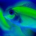 螢光魚s2.jpg