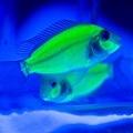 螢光魚s4.jpg
