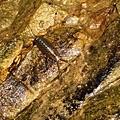 男仔第一次見過的海蟑螂
