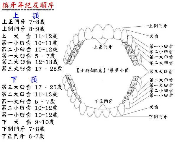 換牙順序表