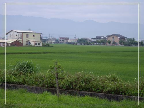 11稻田.JPG