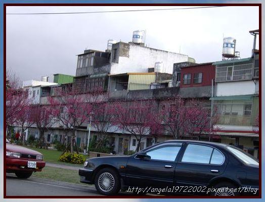 28住家附近的櫻花.JPG