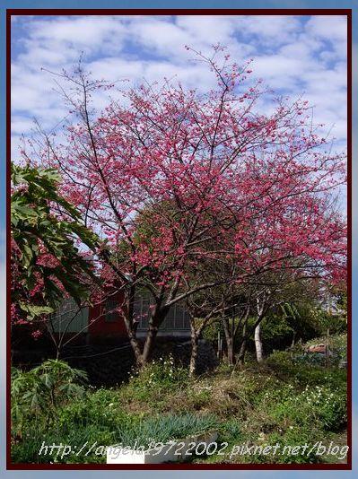 01路邊的櫻花.JPG
