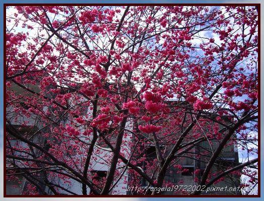 03滿眼紅的櫻花.JPG