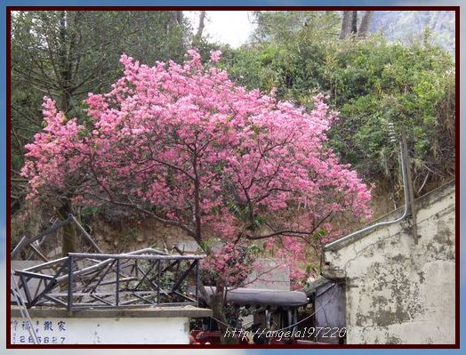 06旁邊的櫻花.JPG