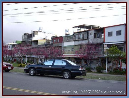 27住家附近的櫻花.JPG