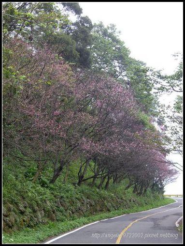 06整排櫻花.JPG