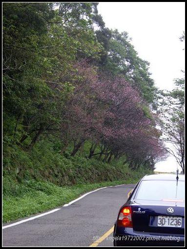 10櫻花與小藍.JPG