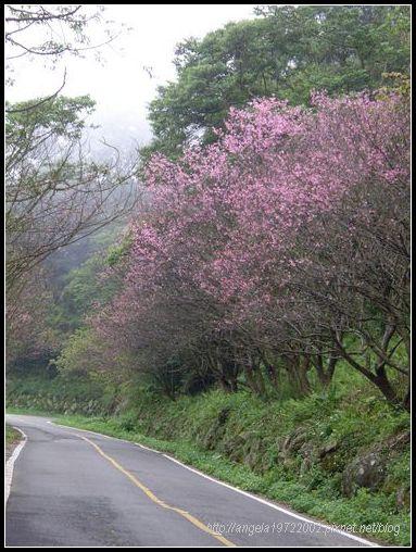 12整排櫻花.JPG