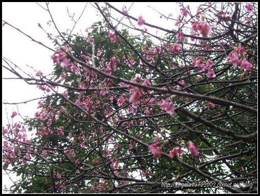 17隔周的櫻花.JPG