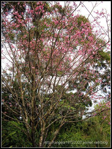 26櫻花樹.jpg