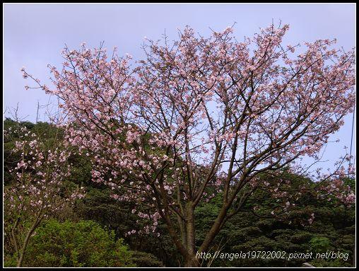 29櫻花.jpg