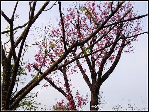 33櫻花.jpg