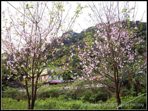 35櫻花.jpg