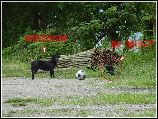466玩足球的狗狗.jpg
