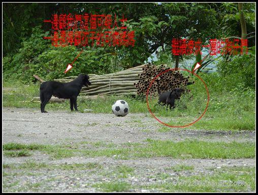 468玩足球的狗狗.jpg